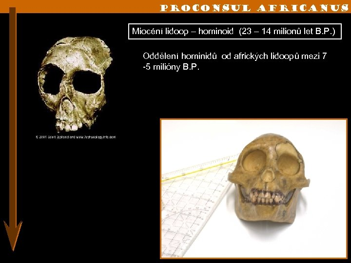 Proconsul africanus Miocéní lidoop – hominoid (23 – 14 milionů let B. P. )