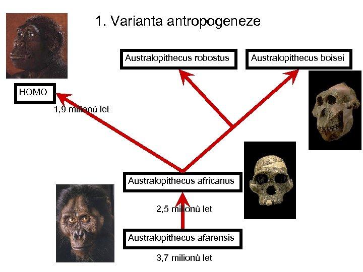 1. Varianta antropogeneze Australopithecus robostus HOMO 1, 9 milionů let Australopithecus africanus 2, 5