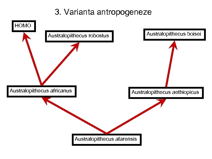 3. Varianta antropogeneze HOMO Australopithecus boisei Australopithecus robostus Australopithecus africanus Australopithecus aethiopicus Australopithecus afarensis