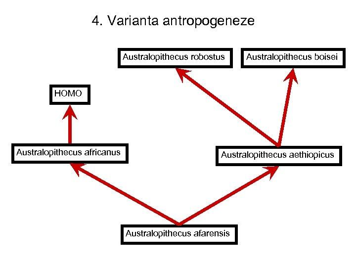 4. Varianta antropogeneze Australopithecus robostus Australopithecus boisei HOMO Australopithecus africanus Australopithecus aethiopicus Australopithecus afarensis