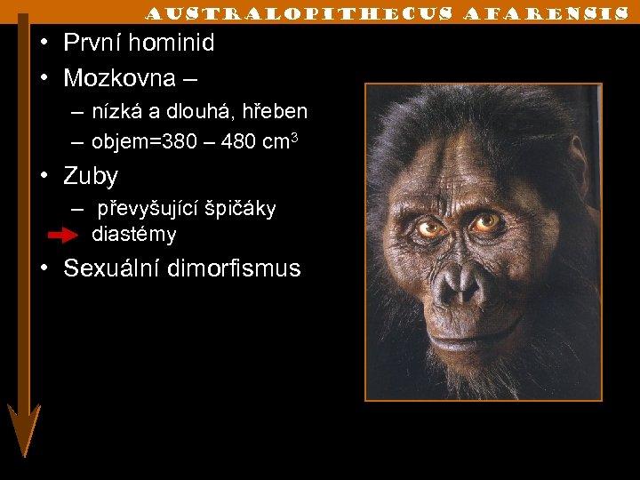 Australopithecus afarensis • První hominid • Mozkovna – – nízká a dlouhá, hřeben –