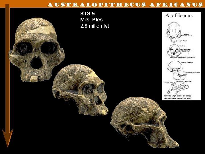 Australopithecus Africanus STS 5 Mrs. Ples 2, 6 milion let
