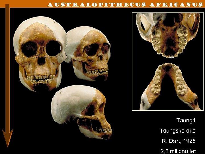 Australopithecus Africanus Taung 1 Taungské dítě R. Dart, 1925 2, 5 milionu let