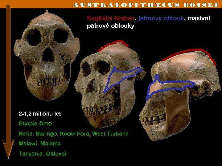 australopithecus boisei Sagitální hřeben, jařmový oblouk, masivní patrové oblouky 2 -1, 2 miliónu let
