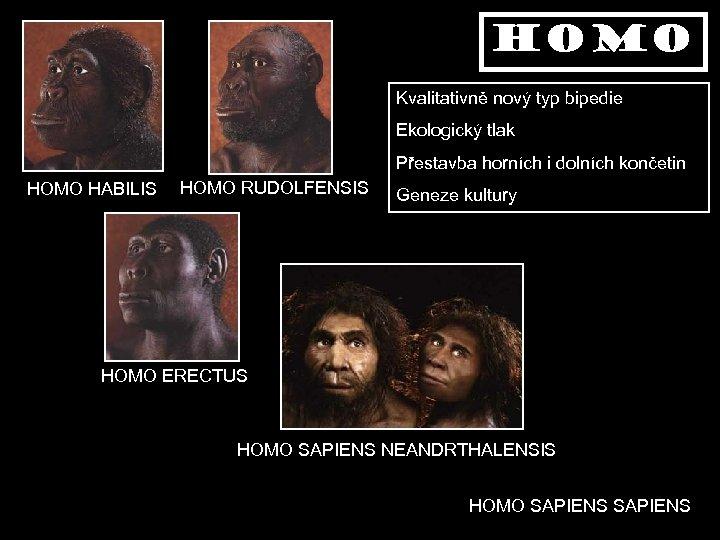 homo Kvalitativně nový typ bipedie Ekologický tlak Přestavba horních i dolních končetin HOMO HABILIS