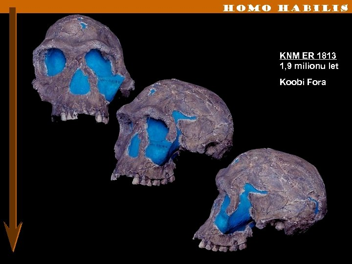 Homo habilis KNM ER 1813 1, 9 milionu let Koobi Fora