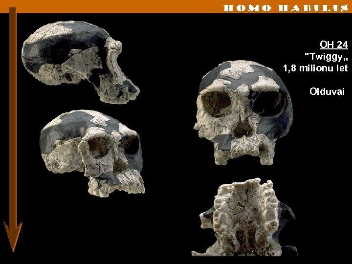Homo habilis OH 24