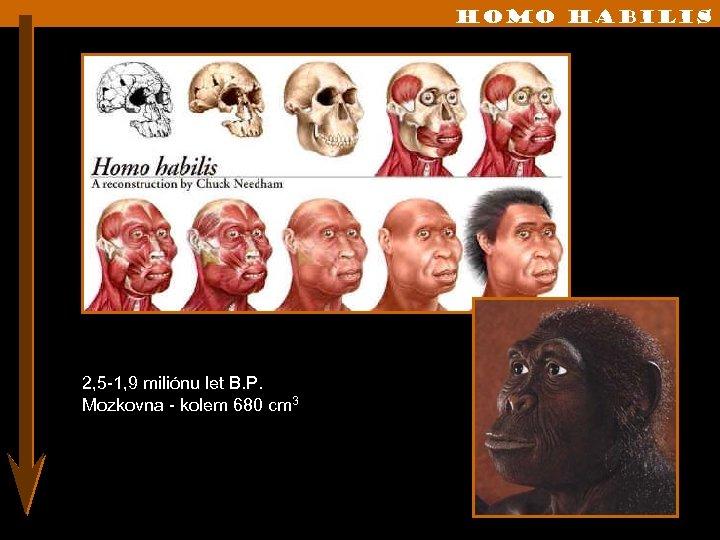 Homo habilis 2, 5 -1, 9 miliónu let B. P. Mozkovna - kolem 680