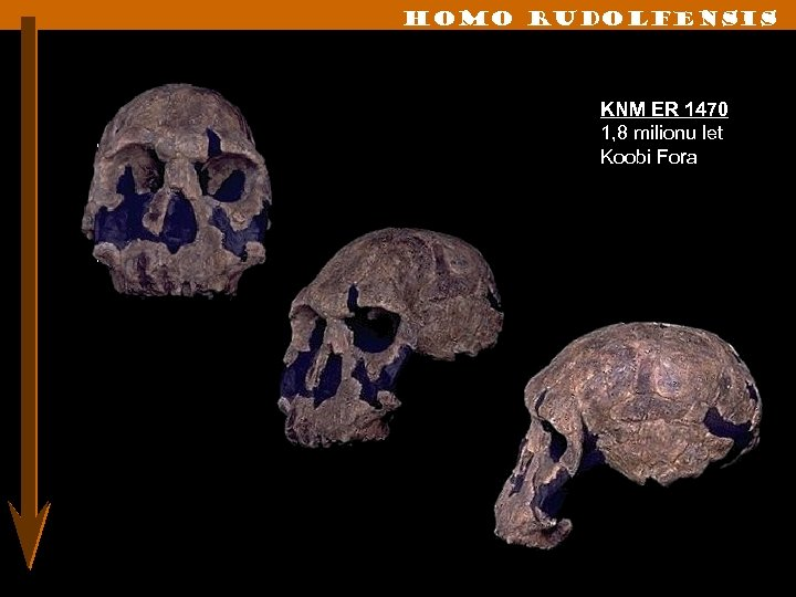 Homo rudolfensis KNM ER 1470 1, 8 milionu let Koobi Fora