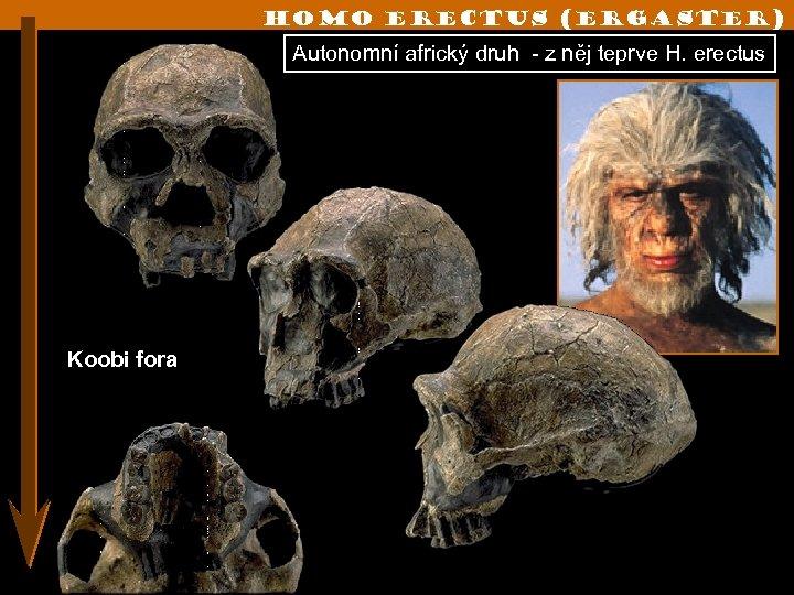 Homo erectus (ergaster) Autonomní africký druh - z něj teprve H. erectus Koobi fora