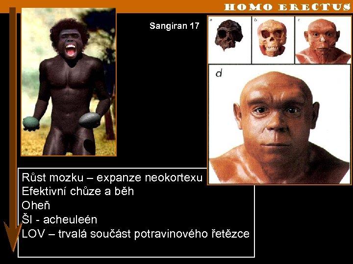 Homo erectus Sangiran 17 Růst mozku – expanze neokortexu Efektivní chůze a běh Oheň