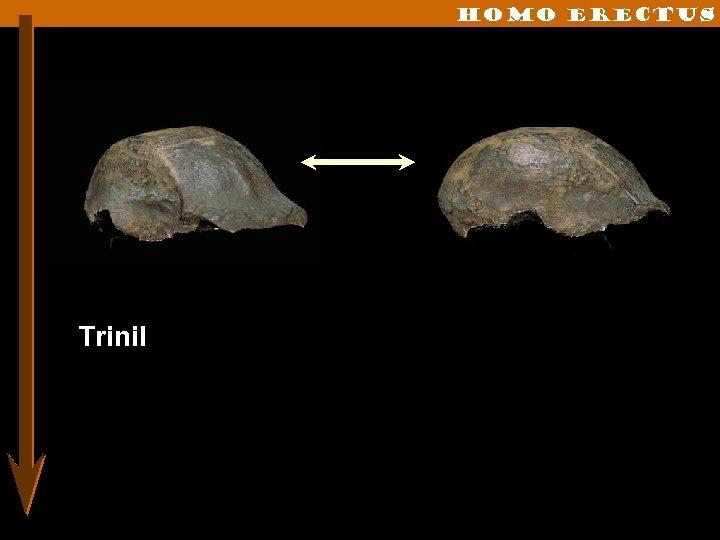 Homo erectus Trinil