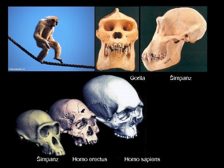 Gorila Šimpanz Homo erectus Homo sapiens Šimpanz