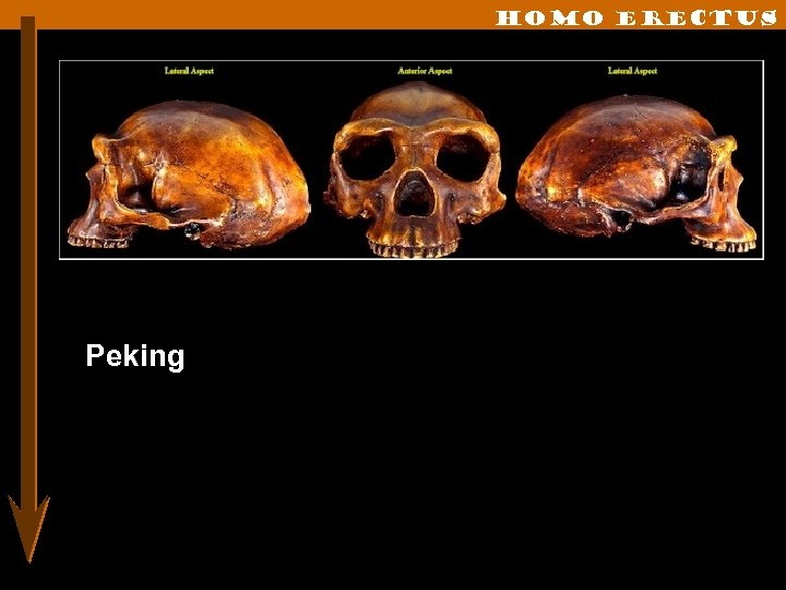 Homo erectus Peking
