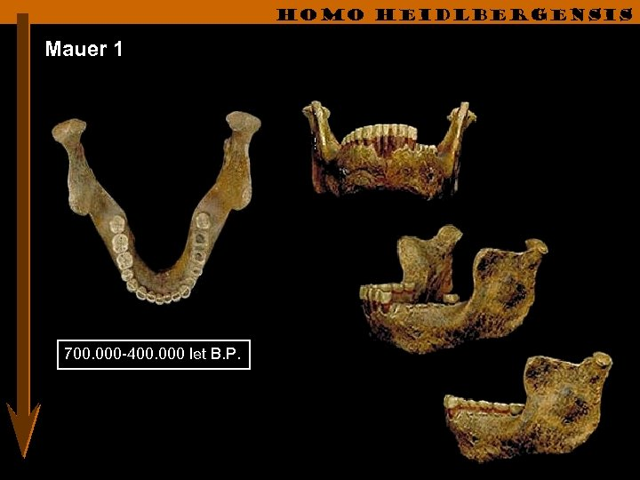 Homo heidlbergensis Mauer 1 700. 000 -400. 000 let B. P.