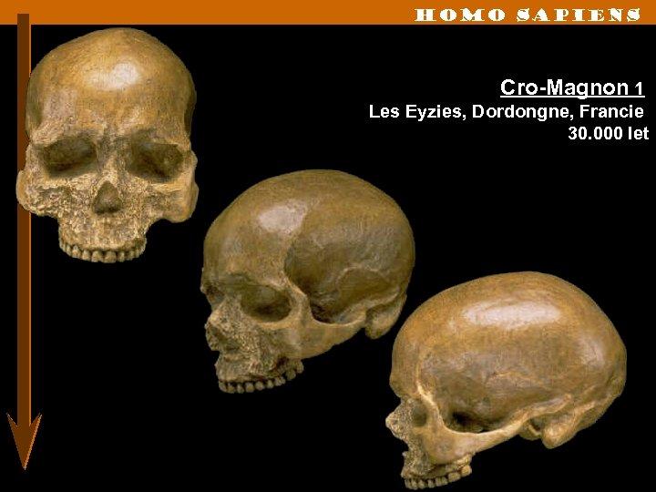 Homo sapiens Cro-Magnon 1 Les Eyzies, Dordongne, Francie 30. 000 let