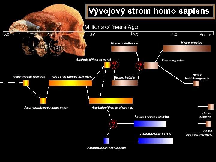 Vývojový strom homo sapiens