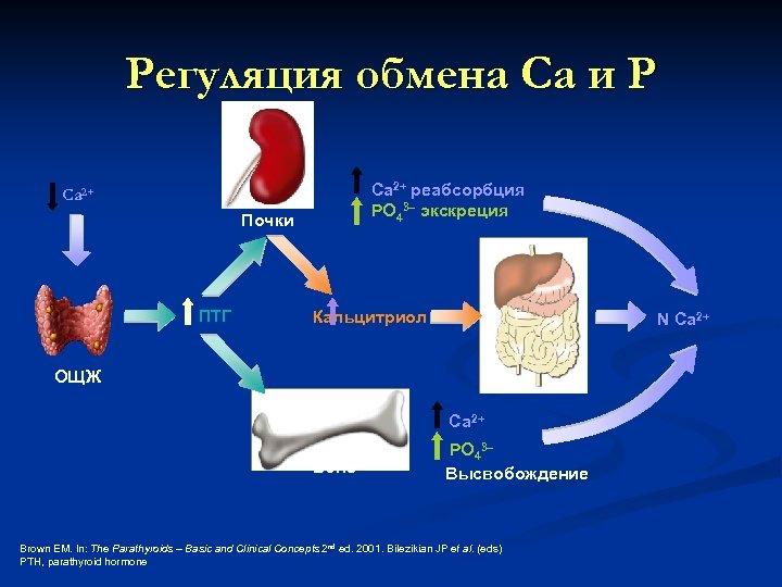 Регуляция обмена Са и Р Ca 2+ реабсорбция PO 43– экскреция Ca 2+ Почки