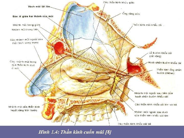 • Hình 1. 4: Thần kinh cuốn mũi [8]
