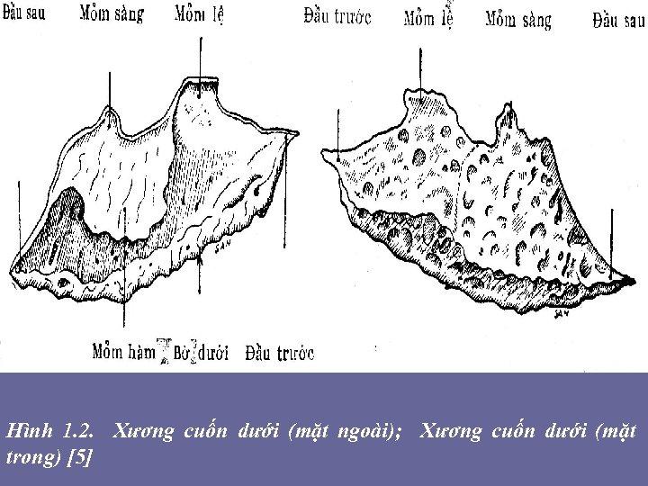 Hình 1. 2. Xương cuốn dưới (mặt ngoài); Xương cuốn dưới (mặt trong) [5]