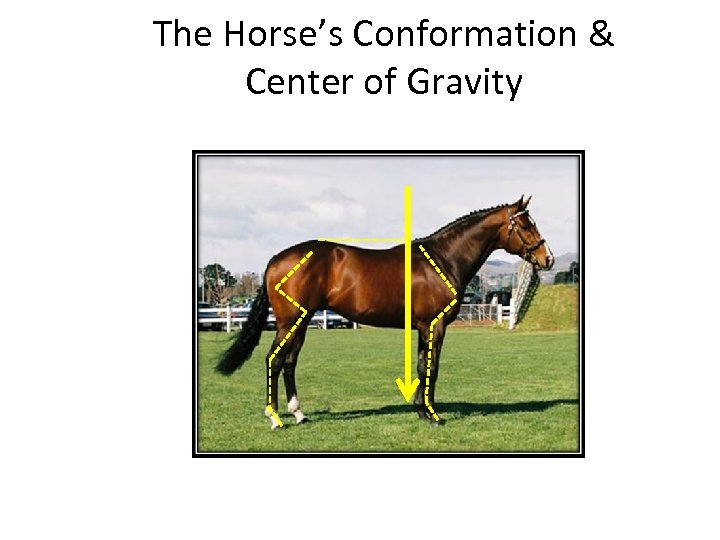 The Horse's Conformation & Center of Gravity