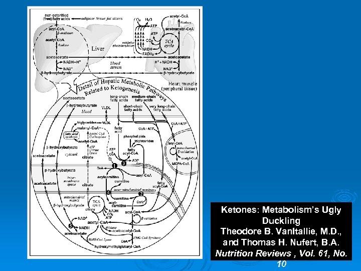 Ketones: Metabolism's Ugly Duckling Theodore B. Van. Itallie, M. D. , and Thomas H.