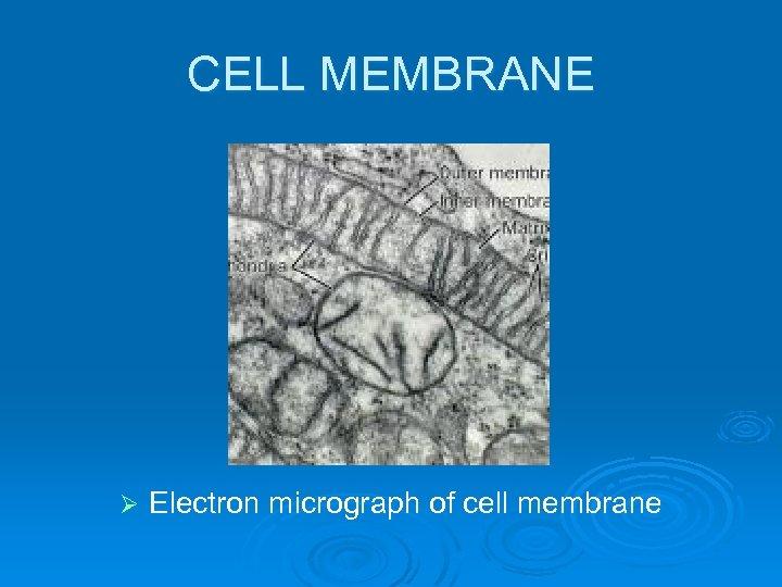 CELL MEMBRANE Ø Electron micrograph of cell membrane