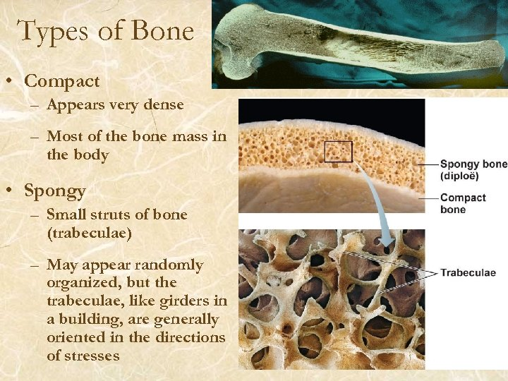 Types of Bone • Compact – Appears very dense – Most of the bone