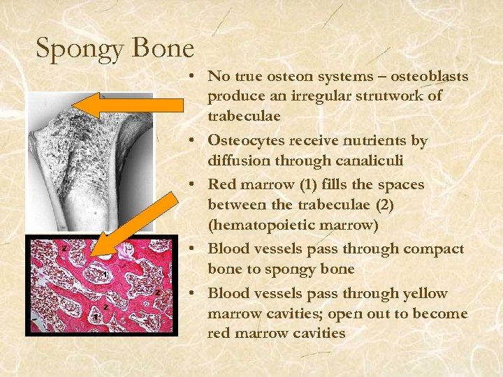Spongy Bone • No true osteon systems – osteoblasts produce an irregular strutwork of