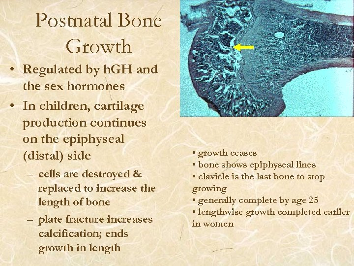 Postnatal Bone Growth • Regulated by h. GH and the sex hormones • In