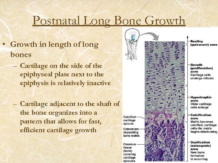 Postnatal Long Bone Growth • Growth in length of long bones – Cartilage on