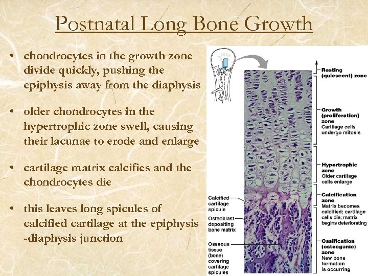 Postnatal Long Bone Growth • chondrocytes in the growth zone divide quickly, pushing the