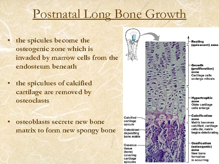 Postnatal Long Bone Growth • the spicules become the osteogenic zone which is invaded