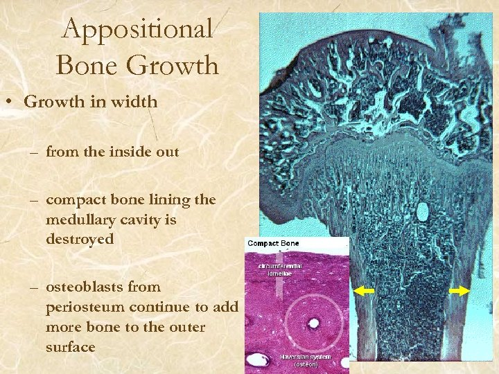 Appositional Bone Growth • Growth in width – from the inside out – compact