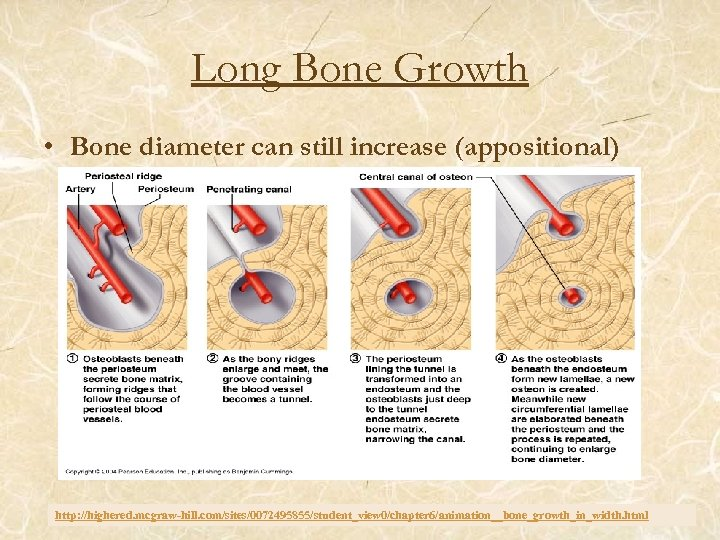 Long Bone Growth • Bone diameter can still increase (appositional) http: //highered. mcgraw-hill. com/sites/0072495855/student_view
