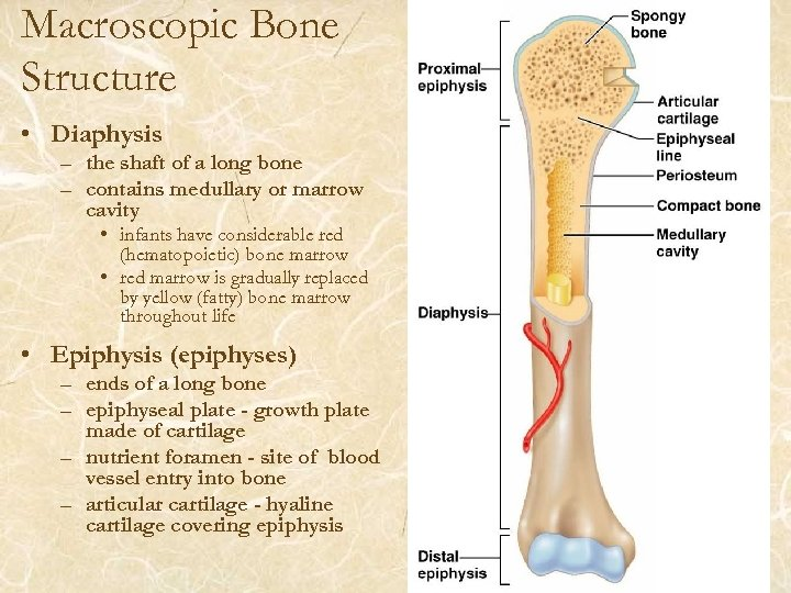 Macroscopic Bone Structure • Diaphysis – the shaft of a long bone – contains