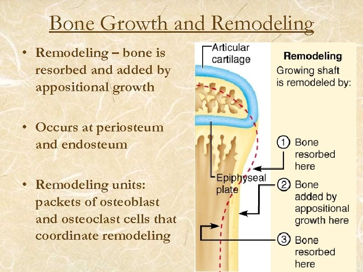 Bone Growth and Remodeling • Remodeling – bone is resorbed and added by appositional