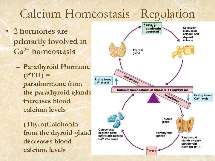 Calcium Homeostasis - Regulation • 2 hormones are primarily involved in Ca 2+ homeostasis