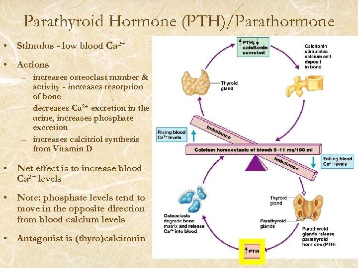 Parathyroid Hormone (PTH)/Parathormone • Stimulus - low blood Ca 2+ • Actions – increases