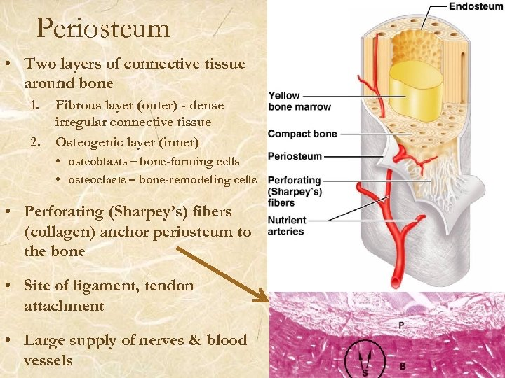 Periosteum • Two layers of connective tissue around bone 1. 2. Fibrous layer (outer)