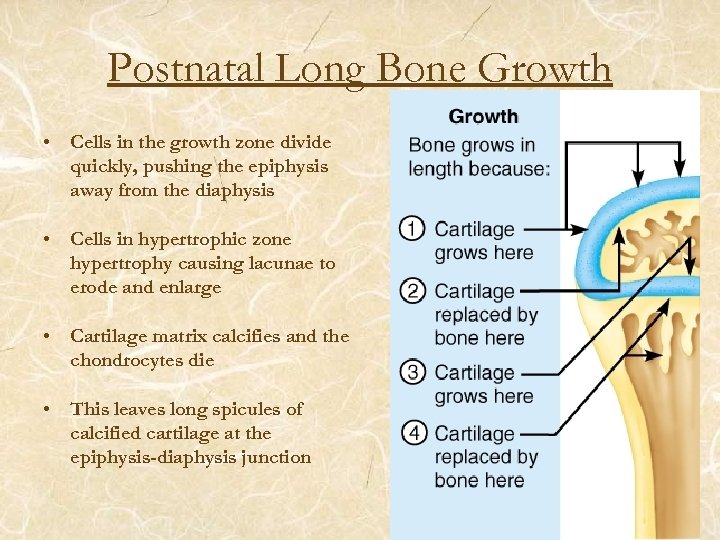 Postnatal Long Bone Growth • Cells in the growth zone divide quickly, pushing the