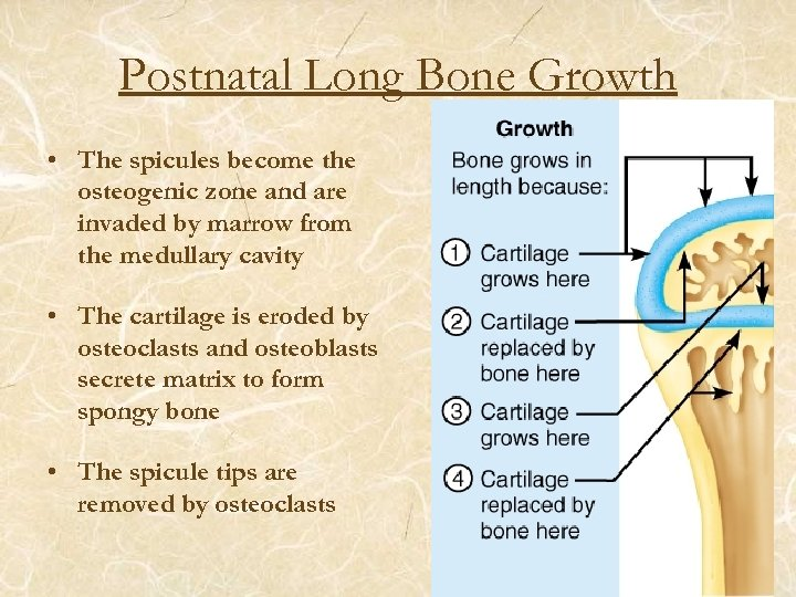 Postnatal Long Bone Growth • The spicules become the osteogenic zone and are invaded