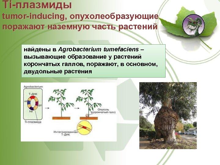 Ti плазмиды tumor inducing, опухолеобразующие поражают наземную часть растений найдены в Agrobacterium tumefaciens –