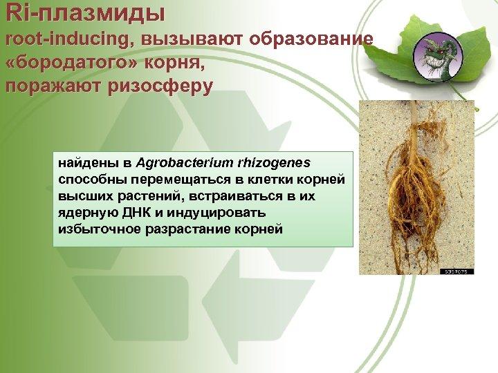 Ri плазмиды root inducing, вызывают образование «бородатого» корня, поражают ризосферу найдены в Agrobacterium rhizogenes