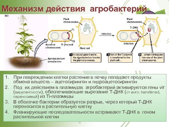 Механизм действия агробактерий 1. При повреждении клетки растения в почву попадают продукты обмена веществ