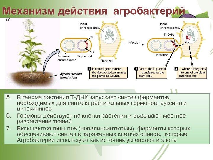 Механизм действия агробактерий 5. В геноме растения Т-ДНК запускает синтез ферментов, необходимых для синтеза