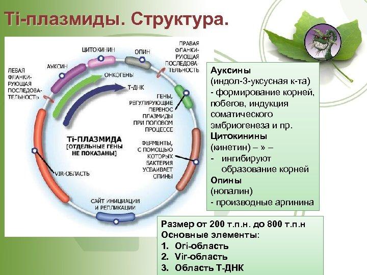 Ti плазмиды. Структура. Ауксины (индол-3 -уксусная к-та) - формирование корней, побегов, индукция соматического эмбриогенеза