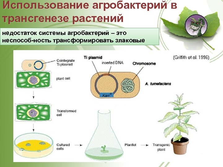 Использование агробактерий в трансгенезе растений недостаток системы агробактерий – это неспособ ность трансформировать злаковые