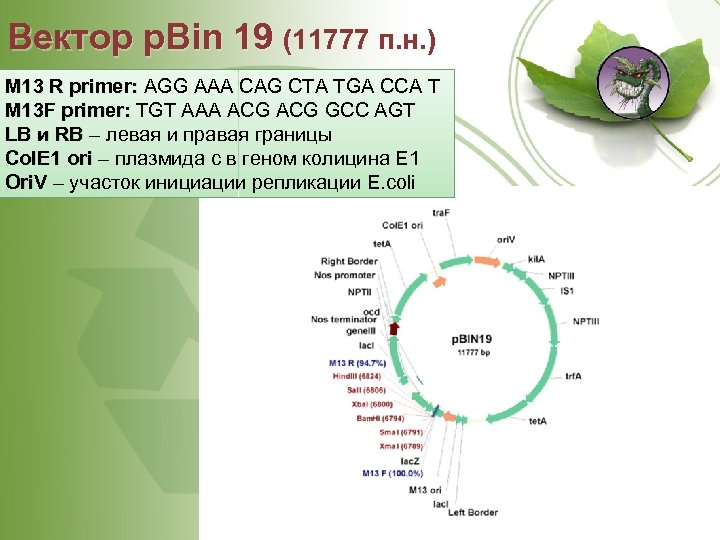 Вектор p. Bin 19 (11777 п. н. ) M 13 R primer: AGG AAA