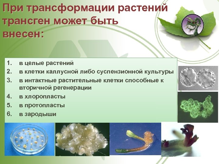 При трансформации растений трансген может быть внесен: 1. 2. 3. 4. 5. 6. в